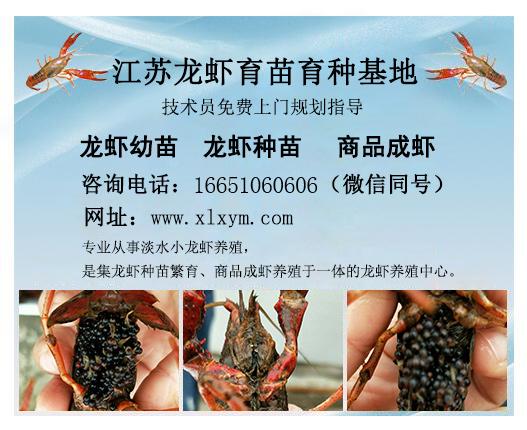 淡水虾苗批发,卓越的龙虾种苗养殖基地就是千耀农产品