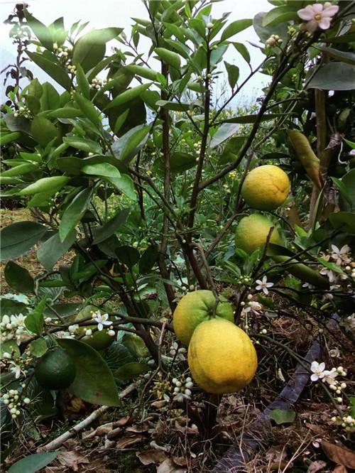 大量供应葡萄柚树苗,葡萄柚为什么叫葡萄柚