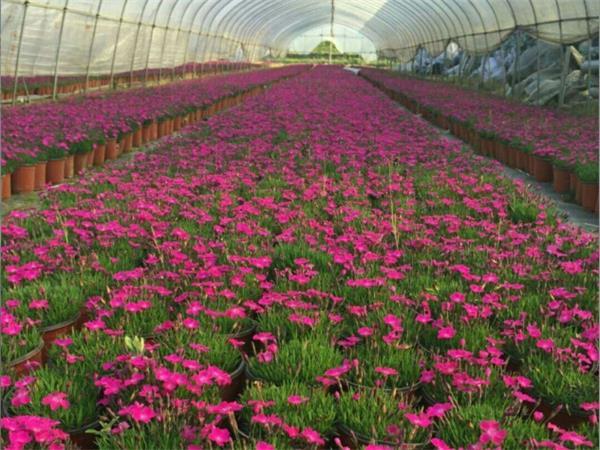 青州欧石竹-潍坊可靠的欧石竹供应商
