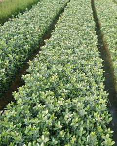 宏凯花卉苗木供应价位合理的大叶黄杨-哪里卖大叶黄杨