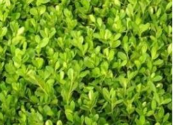 河南小叶黄杨批发_优良的小叶黄杨就在御景花卉