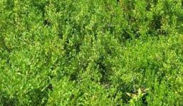 小叶黄杨供应商-质量好的小叶黄杨市场价格