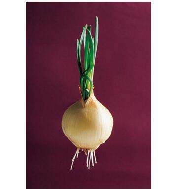 科威洋葱种子品牌_购买黄皮洋葱种子优选西昌科威洋葱