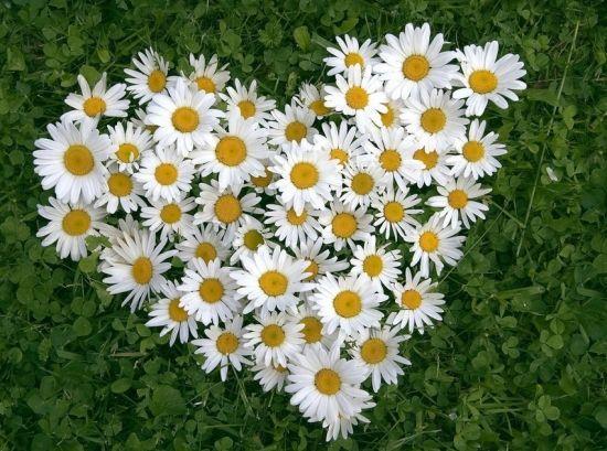 雏菊基地-哪里能买到口碑好的雏菊