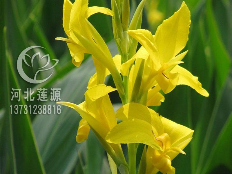 批发水生美人蕉-超值的水生美人蕉优选河北莲源水生植物