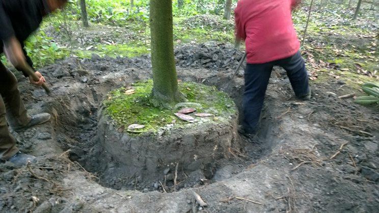 提供成都灌木基地|优质成都起树基地