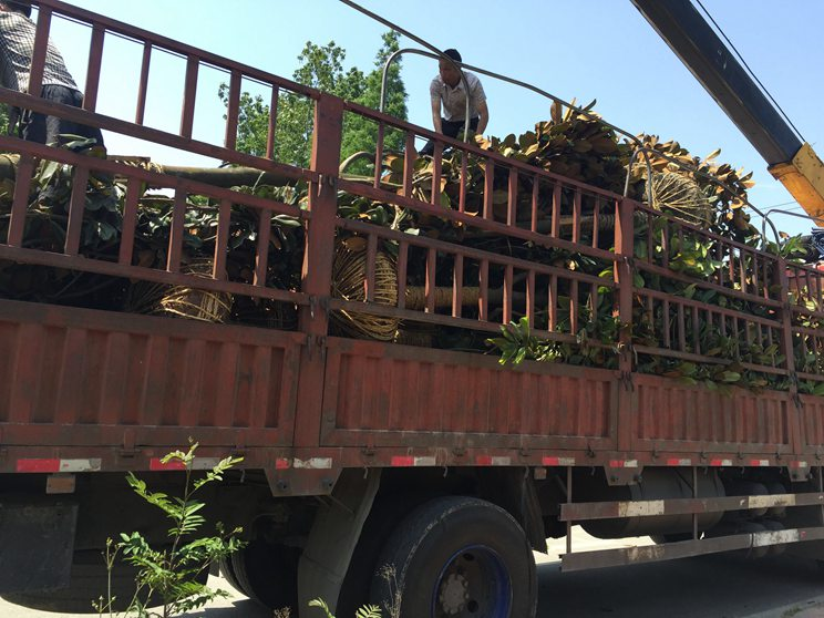 成都区域专业成都起树基地 订购成都灌木基地