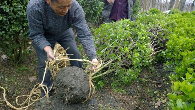 成都起树基地相关资讯-热销的成都灌木基地