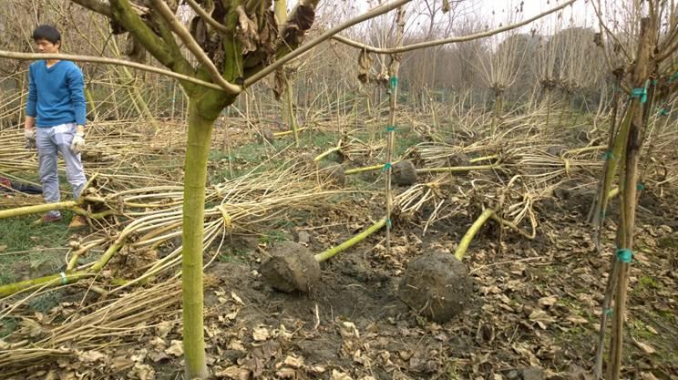 易养植的成都灌木基地 哪有优质成都起树基地