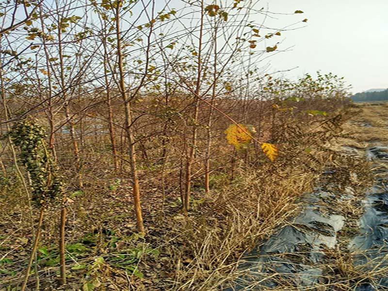 铁路绿化_在哪能买到品种好的白桦