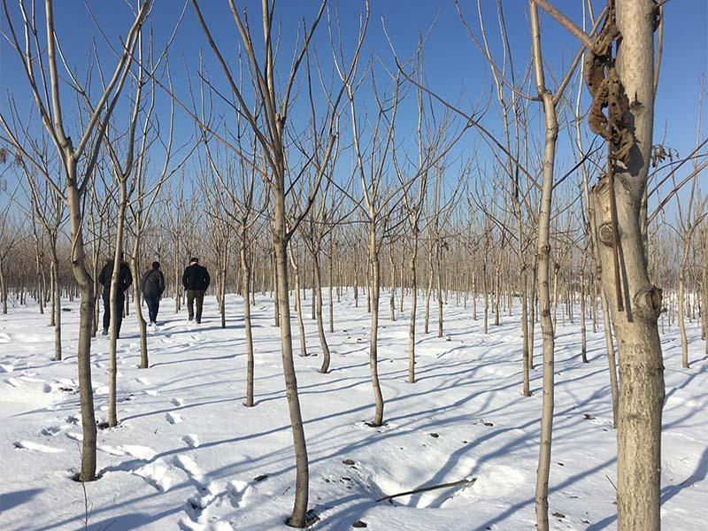 出售山丁子树价格价格批发-好种植的核桃苗优选兄弟园林