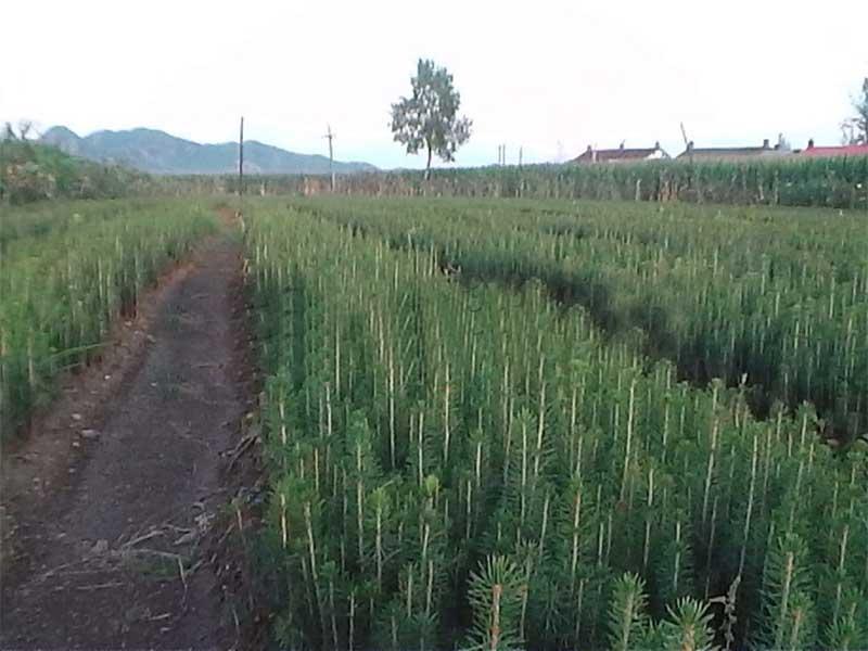 云杉工程苗|在哪能买到品种纯的云杉