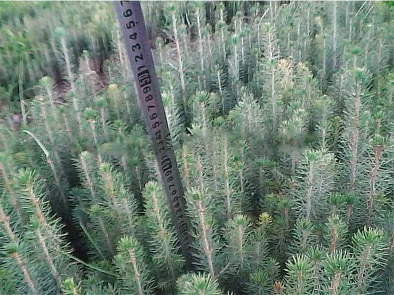 质量好的刺老牙苗-划算的云杉优选兄弟园林