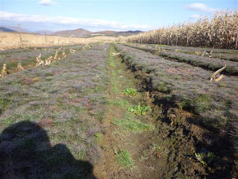 高鐵專用紫穗槐-有品質的樟子松出售