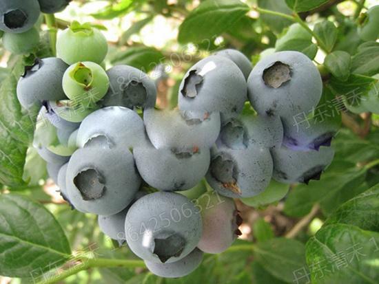 安徽杜克藍莓苗廠家-質量好的杜克藍莓苗出售