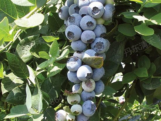 四川绿宝石蓝莓苗哪家好_在哪能买到易成活的绿宝石蓝莓苗