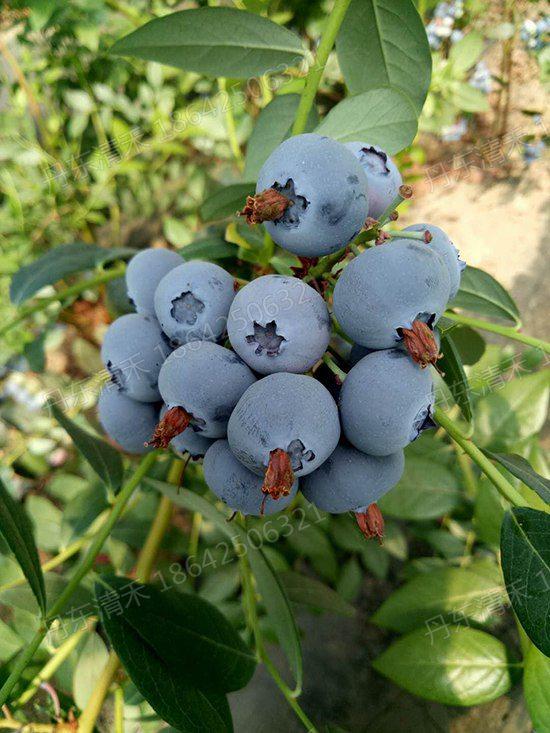 江蘇藍莓苗哪家好-供應遼寧口碑好的藍莓苗