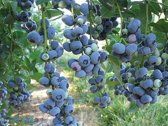 本溪自由蓝莓苗厂家_供应辽宁质量好的自由蓝莓苗