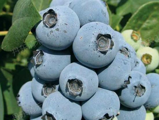 四川珠宝蓝莓苗批发_丹东哪里能买到珠宝蓝莓苗