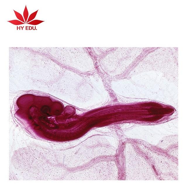 红叶教学仪器供应不错的鸡胚切片-鸡胚胎切片套装价格