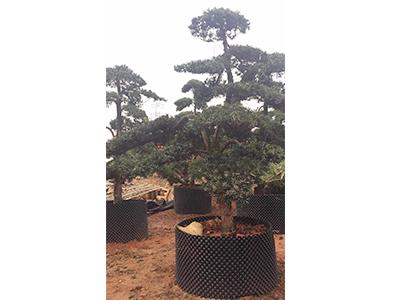 罗汉松种植地|金华市登登苗木_国产罗汉松品种优异