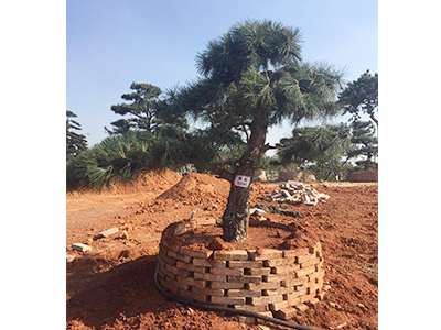 全國代代圓果樹采購-成活率高的黑松出售