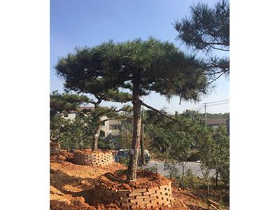 全國五針松采購-想要優惠的黑松就來金華市登登苗木