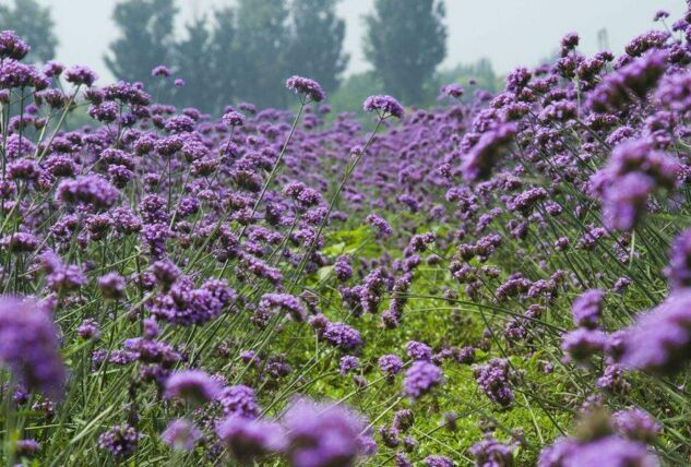 想买合格的马鞭草,就到全意花卉苗木 ——河北马鞭草