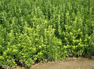 供应山东成活率高的卫矛苗――卫矛∑ 苗种植基地