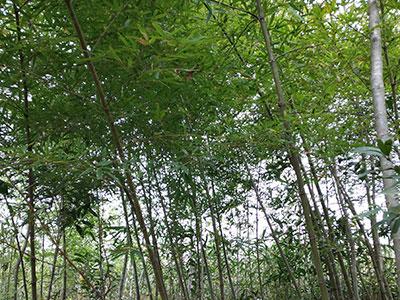 供应观赏竹苗基地-有品质的观赏竹苗基地就是南平市建阳区水秀园林