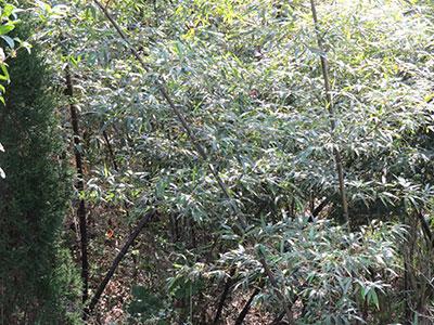 品種齊全的觀賞竹苗基地-知名的觀賞竹苗基地傾力推薦