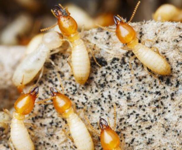专业的九龙坡白蚁灭治公司哪家好公司 九龙坡白蚁防治