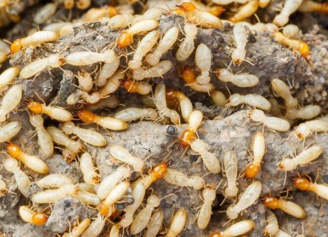 大渡口白蚁防治公司、巴南区白蚁防治公司