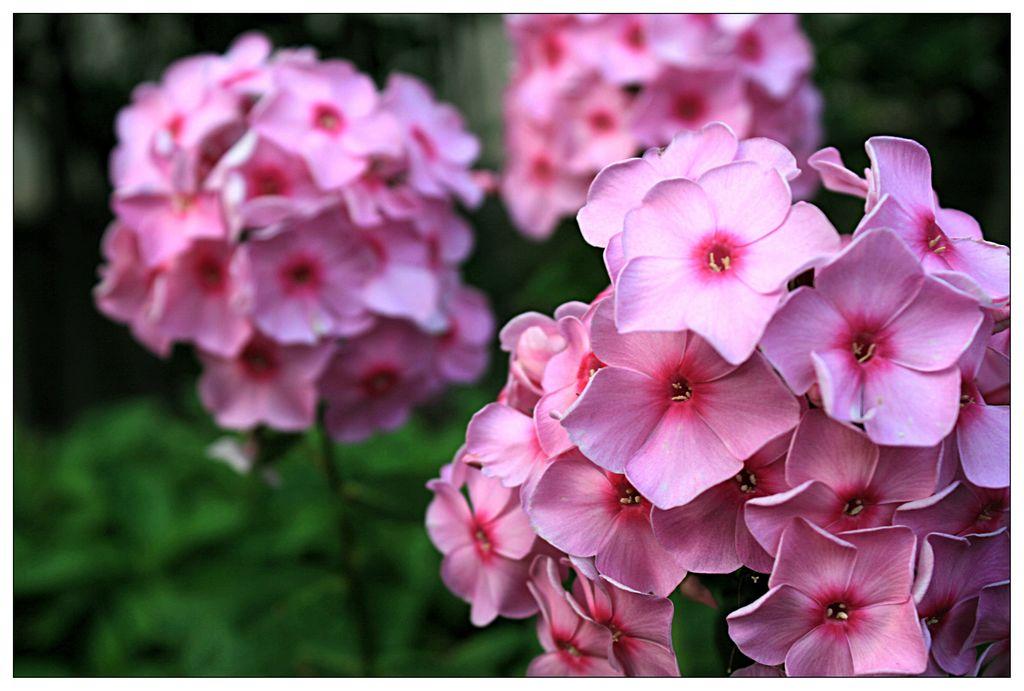 福禄考价格_想买合格的福禄考,就到永胜花卉