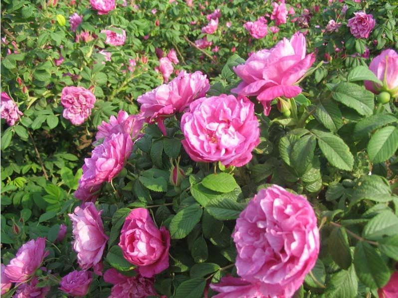 四季玫瑰供应商-万美花卉有品质的四季玫瑰