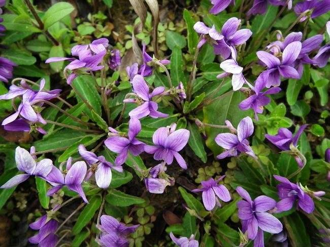 贵州紫花地丁-优惠的紫花地丁哪里有供应