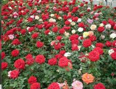大花月季价格_潍坊口碑好的大花月季供应商