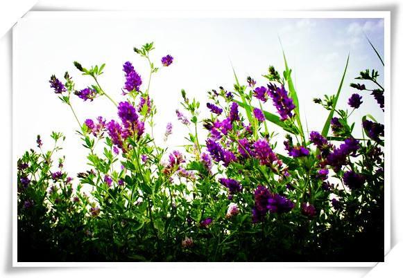 紫花苜蓿厂家-实惠的紫花苜蓿哪里有