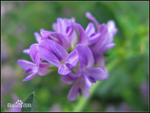 紫花苜?;?口碑好的紫花苜蓿哪里有