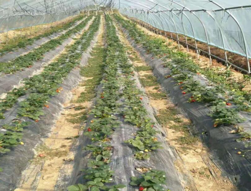 想买新品草莓黑地膜,就到贵州晟和兴塑业  云南黑地膜生产厂家