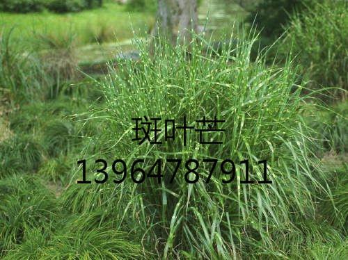 斑叶芒批发-潍坊地区专业花卉种植