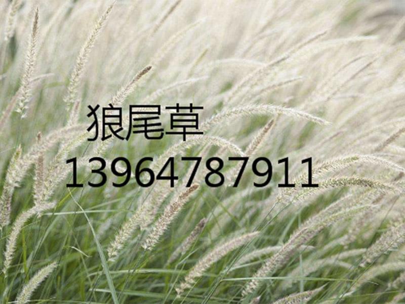 服务质量好的花卉种植报价-狼尾草批发价格