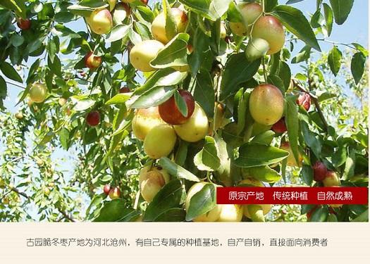 国润生态食品有限公司黄骅脆冬枣-您上好的选择——北京黄骅脆冬枣