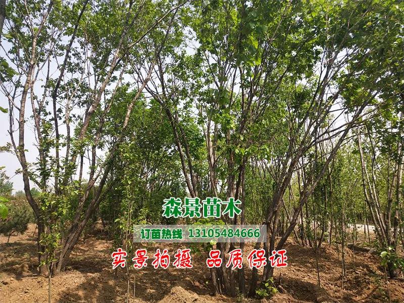 大量出售朴树-朴树多少钱