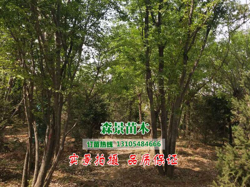 叢生蒙古栎哪家好|在哪能買到品質好的樸樹