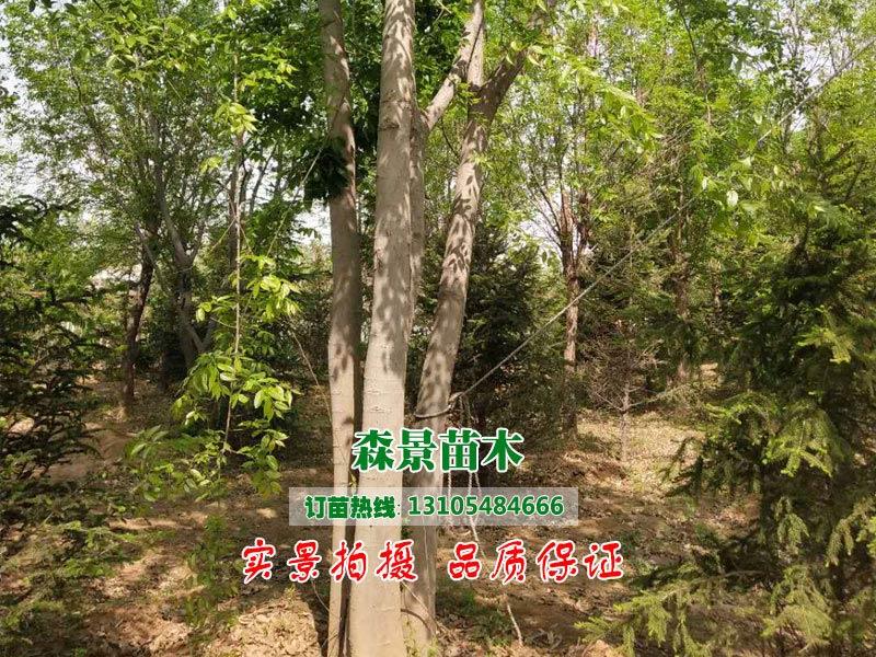 天津樸樹_品種好的樸樹推薦
