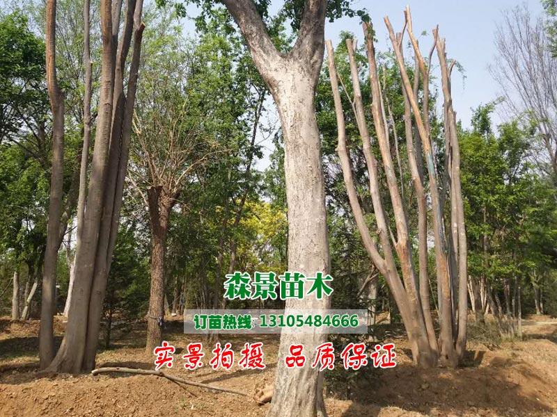 山东品种好的朴树供应 朴树价格