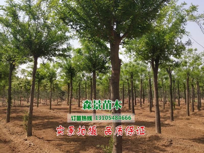 62-63公分法桐,供應山東無病蟲害的法桐樹