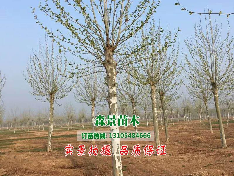 泰安森景苗木專業供應法桐樹,64-65公分法桐