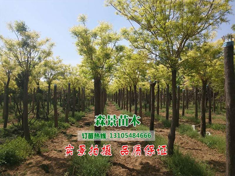 大量出售優良黃金槐 20公分黃金槐供應
